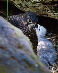 Conservation Falcon feeding chick