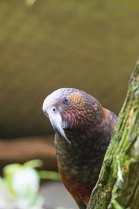Conservation Kaka