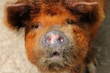 Conservation Kune Kune piggies