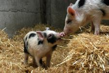 Conservation Kune Kune piglets