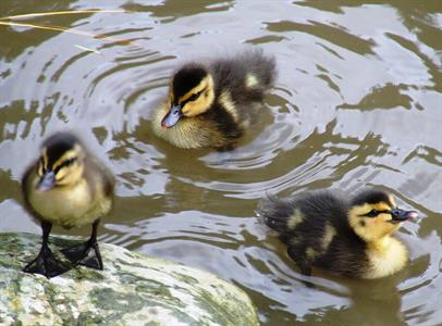Explore Staglands - forest wetlands ducklings
