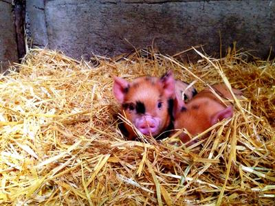 Explore Staglands - the stables piglets