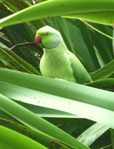 Explore Staglands - Toe Toe Aviary collared parrot