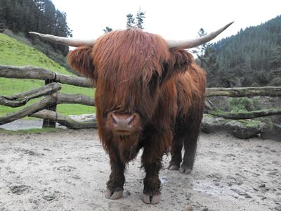 Explore Staglands - Deer park & croft highland cow