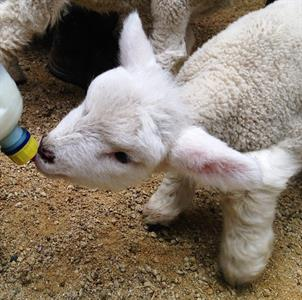 Explore Staglands Feed tour with baby lambs