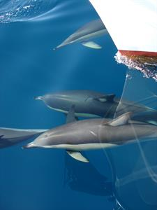 Common Dolphin On The Bow