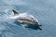 Common dolphin emerging