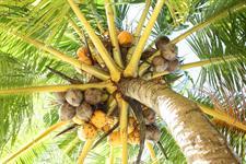 Coconuts Stevensons at Manase