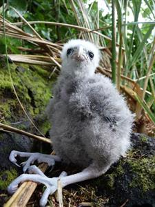 Conservation Falcon chick