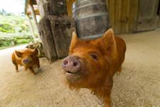 Conservation Kune Kune pig