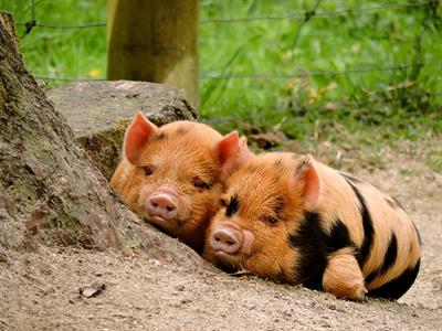 Conservation Kune Kune pigs