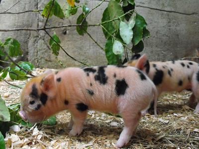Conservation Kune Kune little piglets