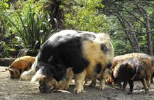 Explore Staglands - the stables kune kune pigs