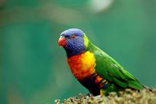 Explore Staglands - Toe Toe Aviary lorikeet
