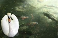 Explore Staglands - trout & eel pool with swans