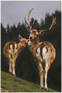 Explore Staglands Deer park & croft majestic deer