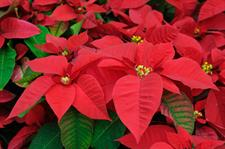 Poinsettias are on sale!
