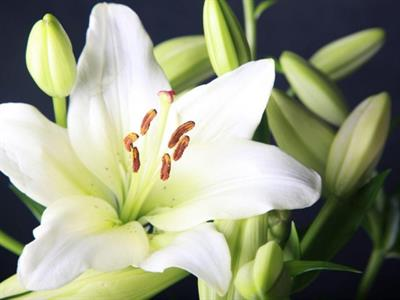 Christmas Lilies