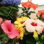 Hibiscus beauties in now