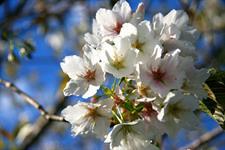 Cherry Blossoms Wellington's Kiwi Holiday Park Wellington's Kiwi Holiday Park
