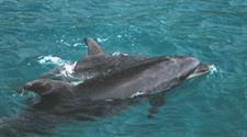 bottlenose-dolphinsmall Dolphin Blue