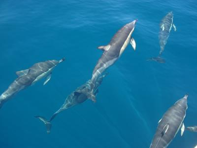 5 Common Dolphins