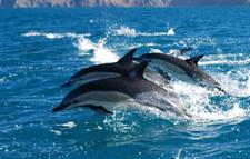 Common Dolphin Group Leap