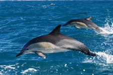 common dolphin pair leap