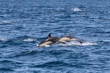 IMG_9695 Dolphin Blue