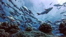 d - Maitai Rangiroa - Drift  Diving Maitai Rangiroa