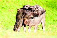4WD Safari - Wildboar Piglet and Buffalo