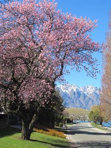 Spring  Cherry blossom on Stanley St Villa del Lago