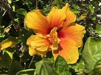 Hibiscus1